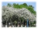 В 40-ой опять цветут сады